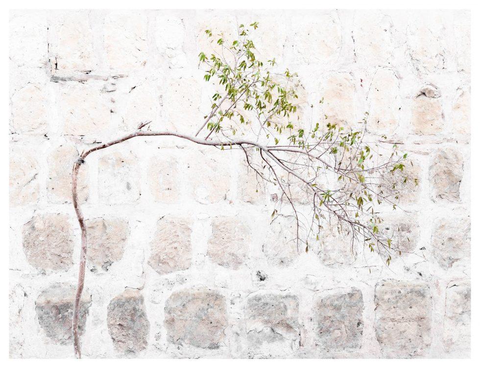 Bent tree, Oaxaca