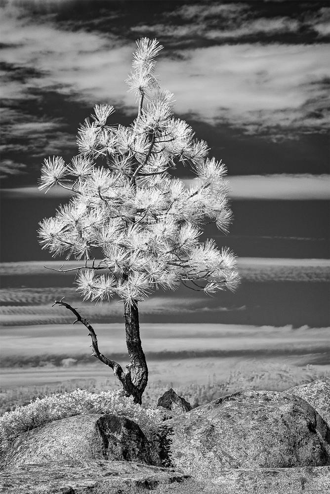 Bright Sierra Pine