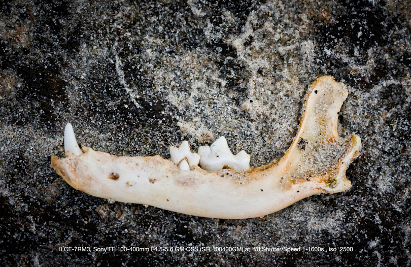 A jaw bone found on a rock. Shot with the 100-400mm
