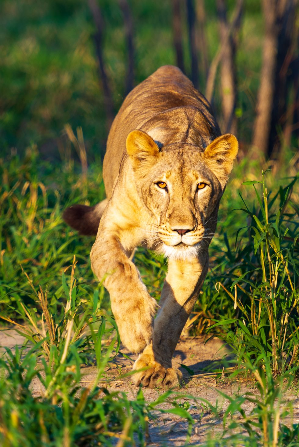 Young lioness in Malawi.