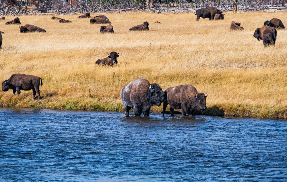 """Lovesick Bull, Yellowstone River, WY, 2011"""