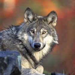 Ysengrain Wolf