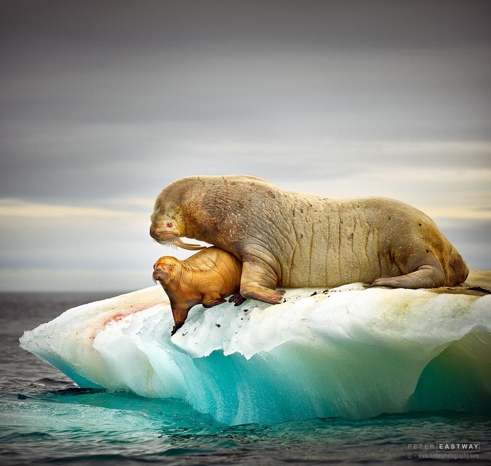 Walrus At Storoya