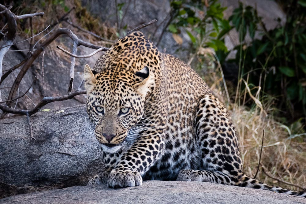 This image of a crouching leopard is only 1/340th of a second but is tack sharp because of the IBIS in Fujifilm's X-H1
