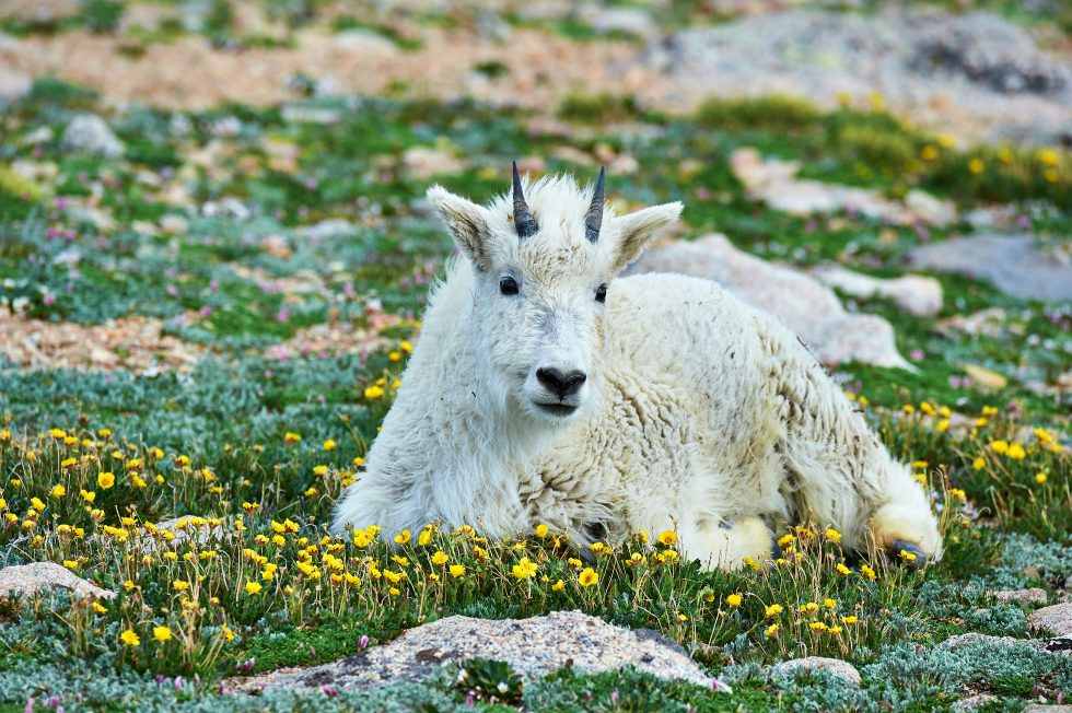 Mountain Goat Mt. Evans Colorado