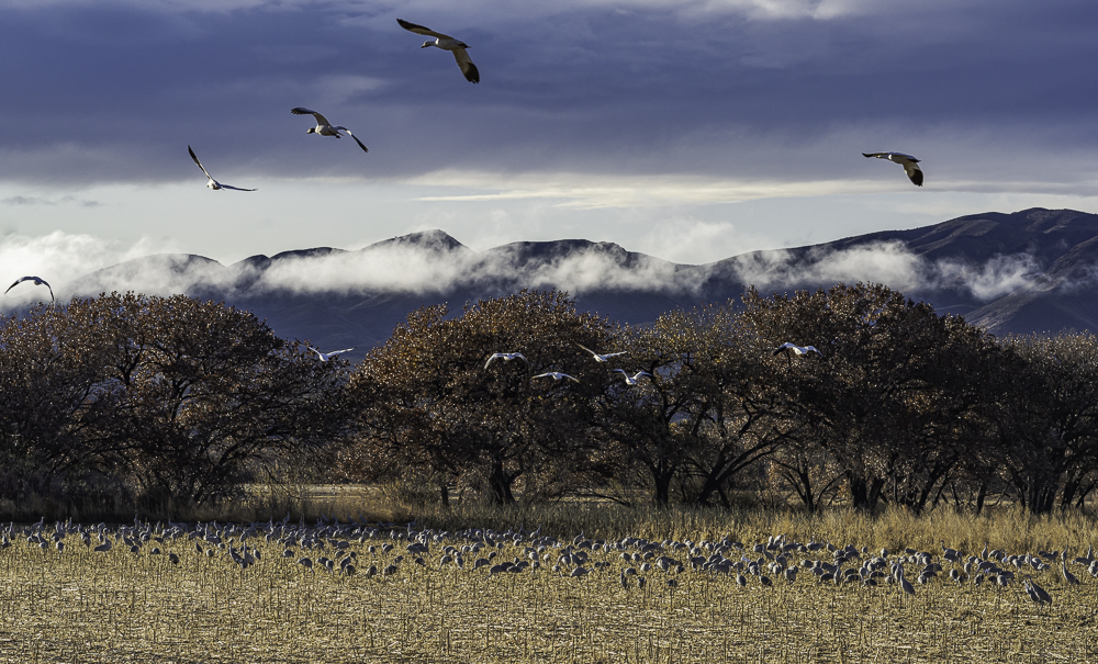 """""""Sandhill Cranes with Snow Geese Flying Overhead"""""""