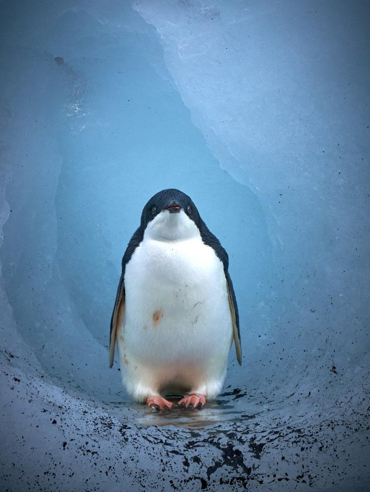 Little penguin in his own iceberg