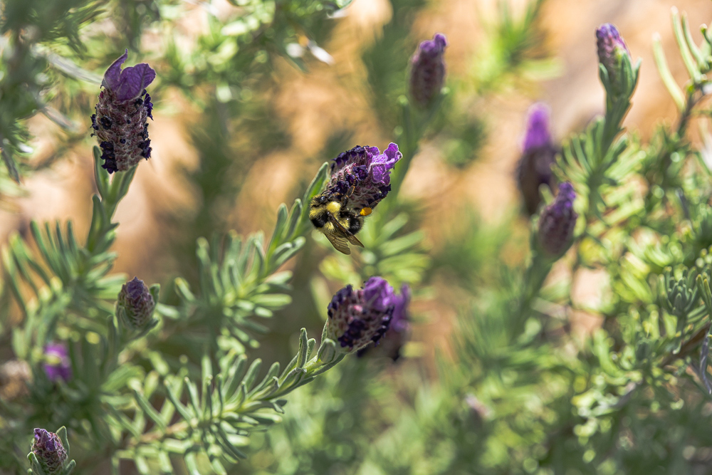 """Bumble Bee on Lavender Bloom 1 (uncropped)"""