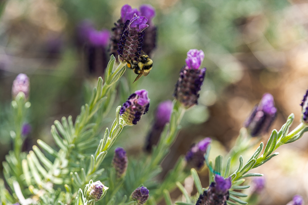 """Bumble Bee on Lavender Bloom 2 (uncropped)"