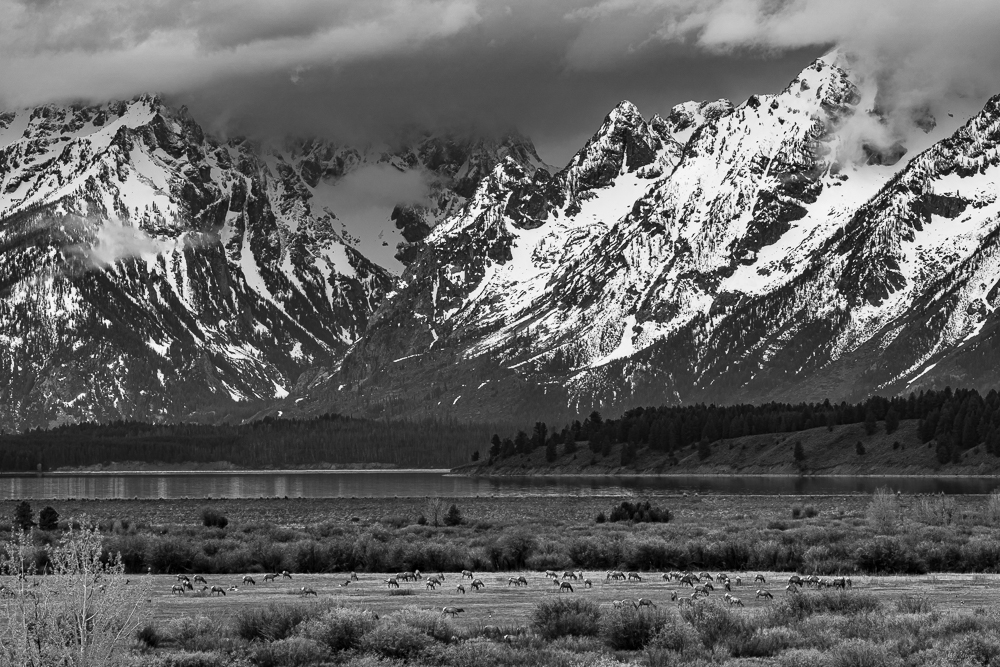 """Elk Migration, Teton NP"" in B&W"