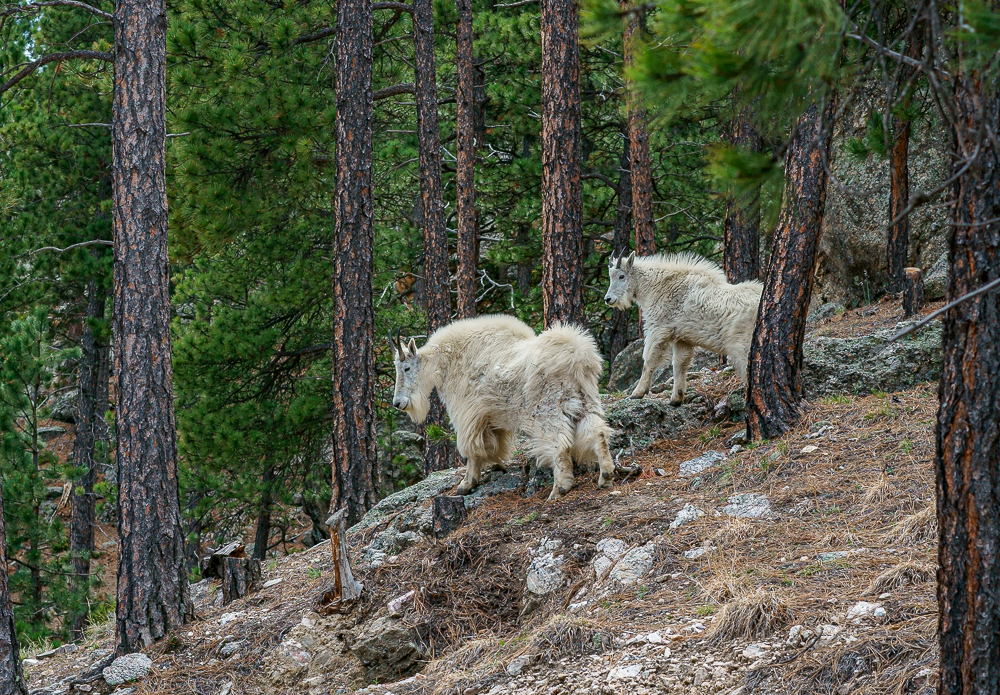 """Mountain Goats, Black Hills, SD"" in color"
