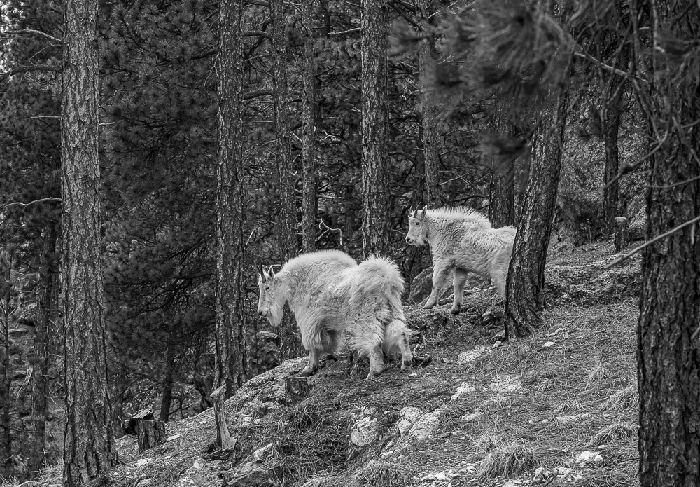 """Mountain Goats, Black Hills, SD"" in B&W"