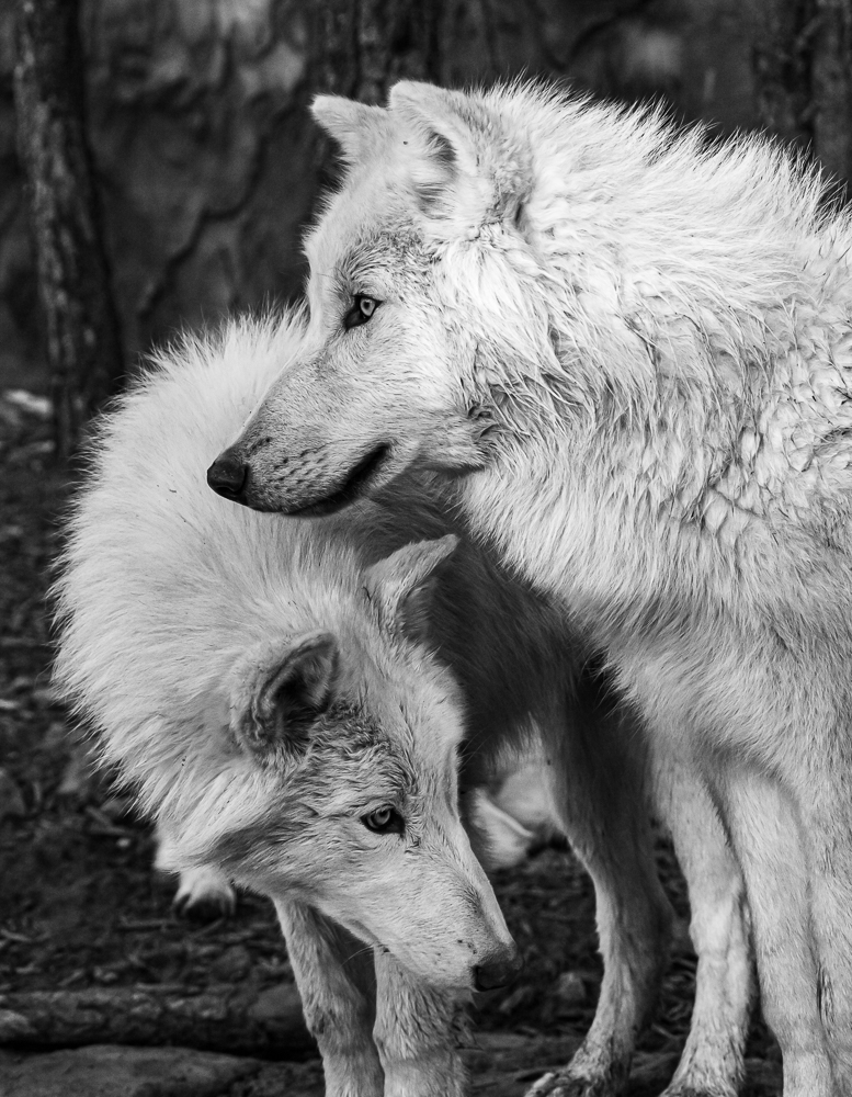 """Arctic Wolves (rescues)"" in B&W"