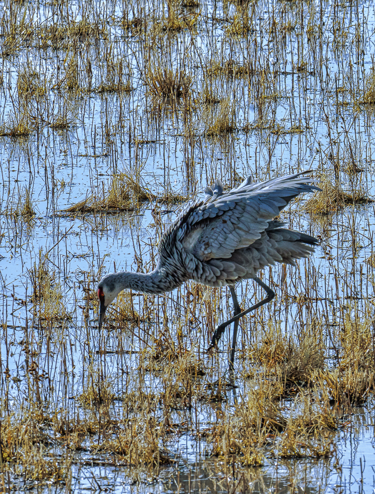 """Foraging Sandhill Crane, Bosque del Apache, NM"" in color"