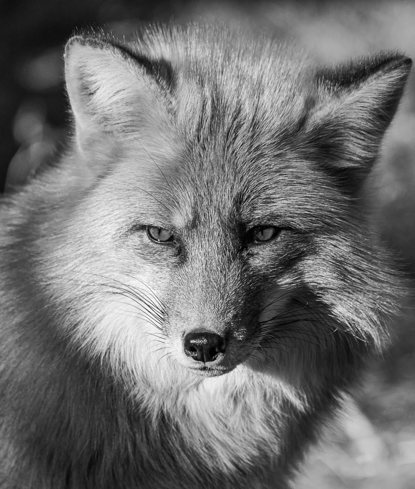 """Portrait of a Red Fox"" in B&W"