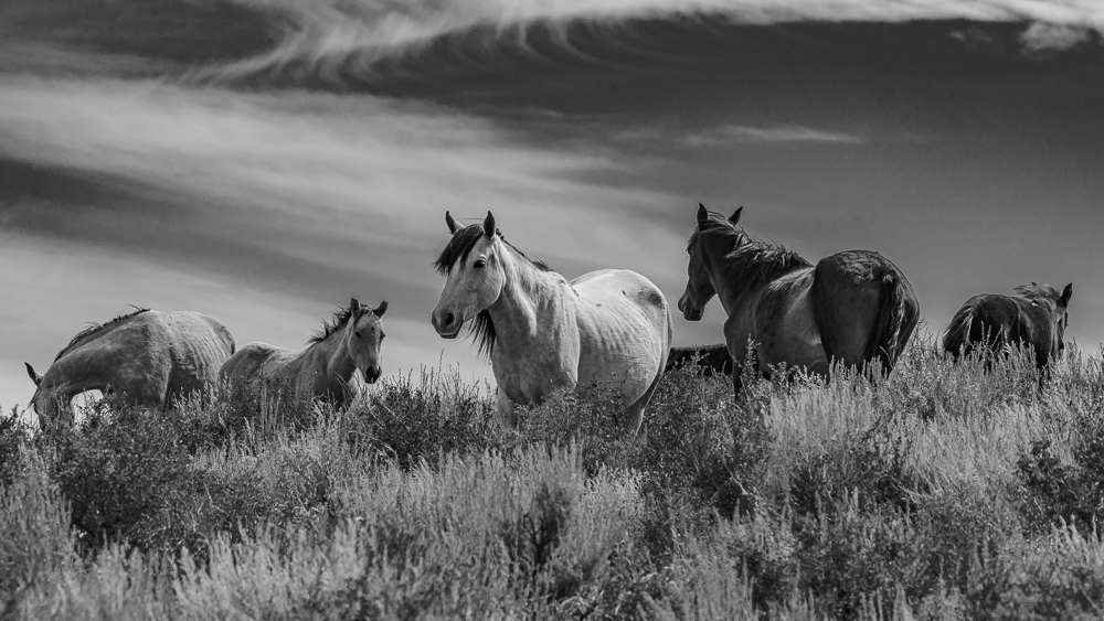 """Horses, High Desert Near Mono Lake, CA"" in B&W"