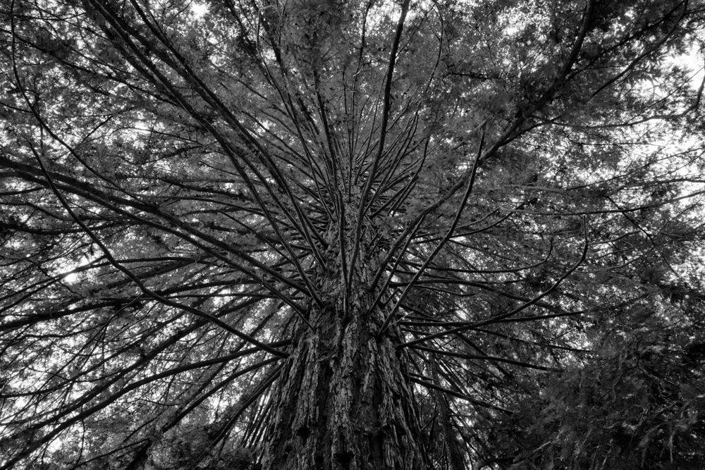 Redwood Branches