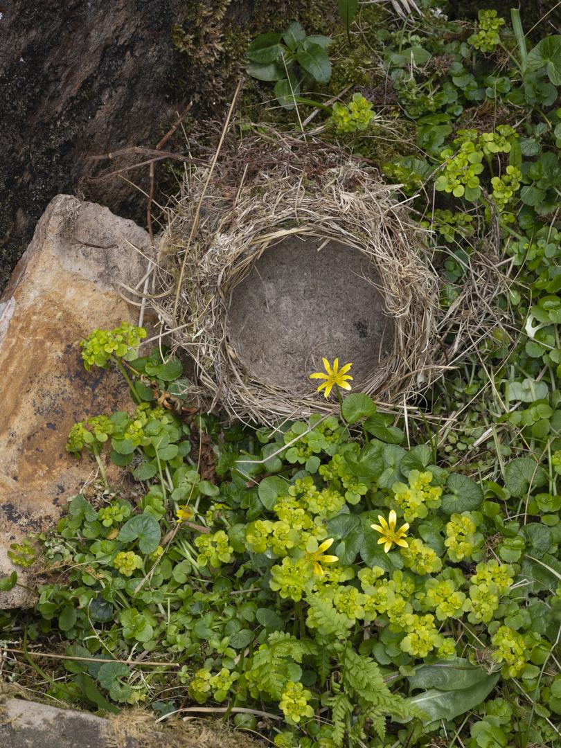 Song thrush's nest, Talm, Eigg. Scotland