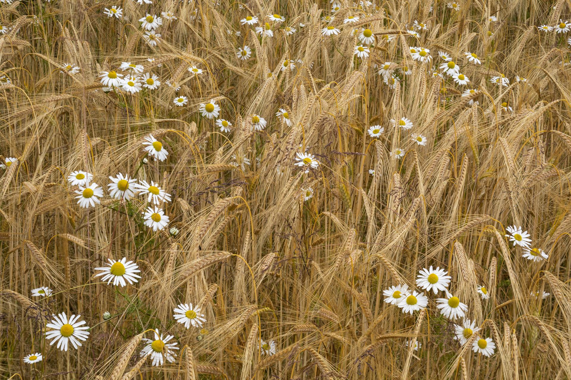 Giant Daisy (Leucanthemella serotina) and Barley, Main of Bridgeton, Scotland