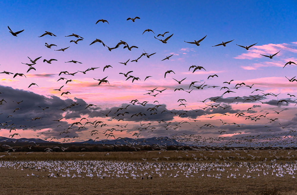 Snow Geese at Sunset, Bosque Del Apache, NM