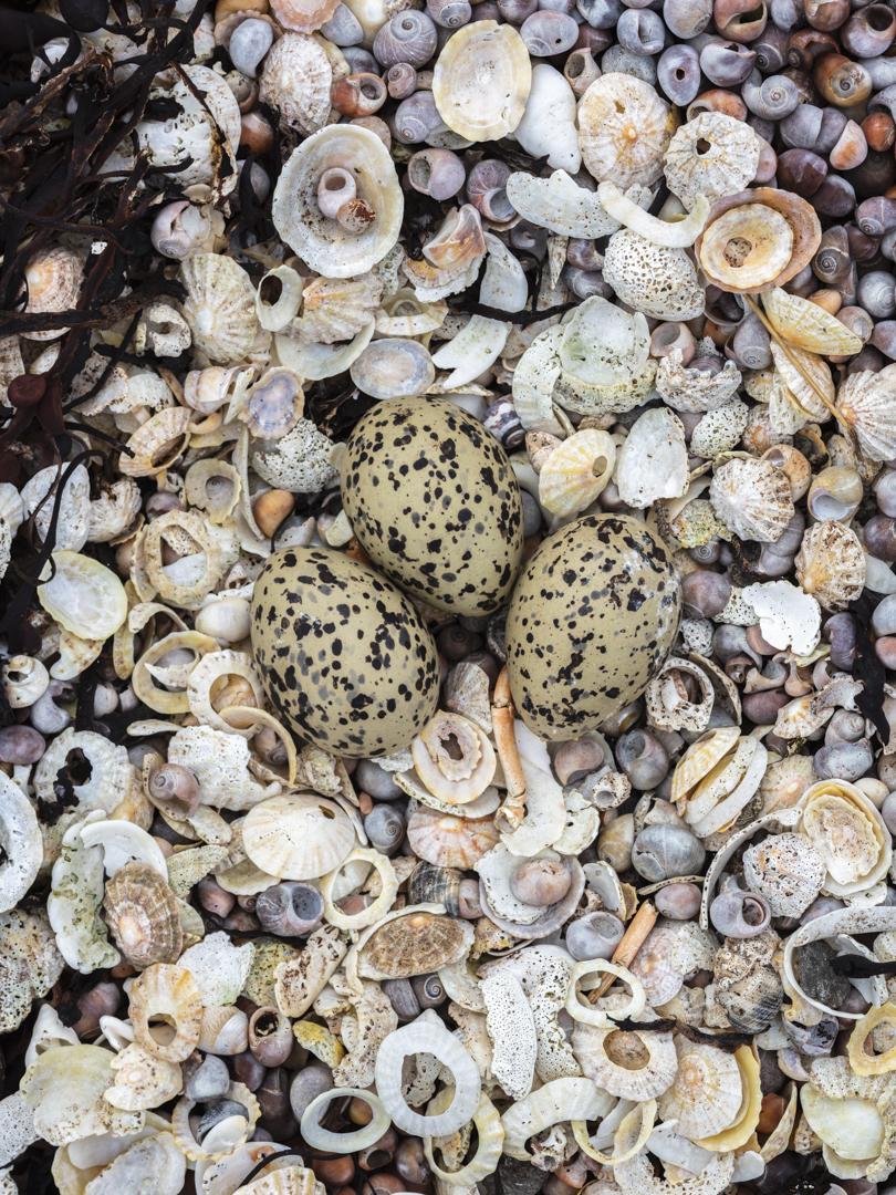 Oystercatcher's nest, Pabay, Skye, Scotland