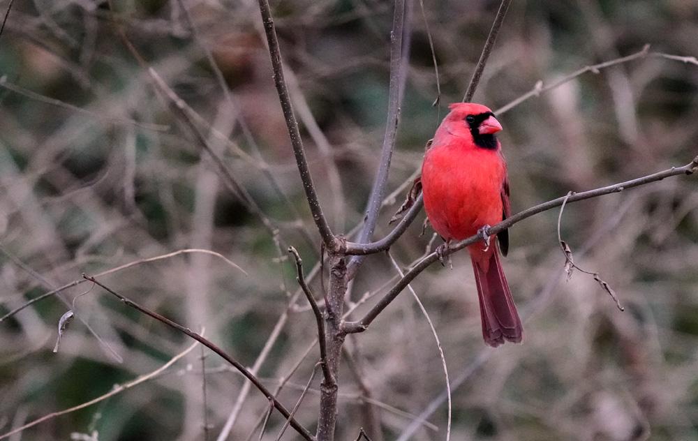 Cardinal - 1/1600th sec., f/6.3 ISO 12,800