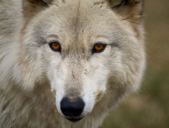 Sony a1 Photographing Wolves With The 200-600mm G Lens