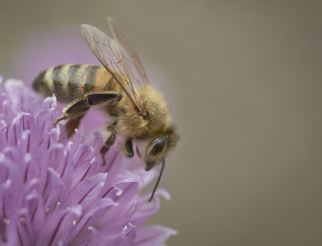 Bee on chives