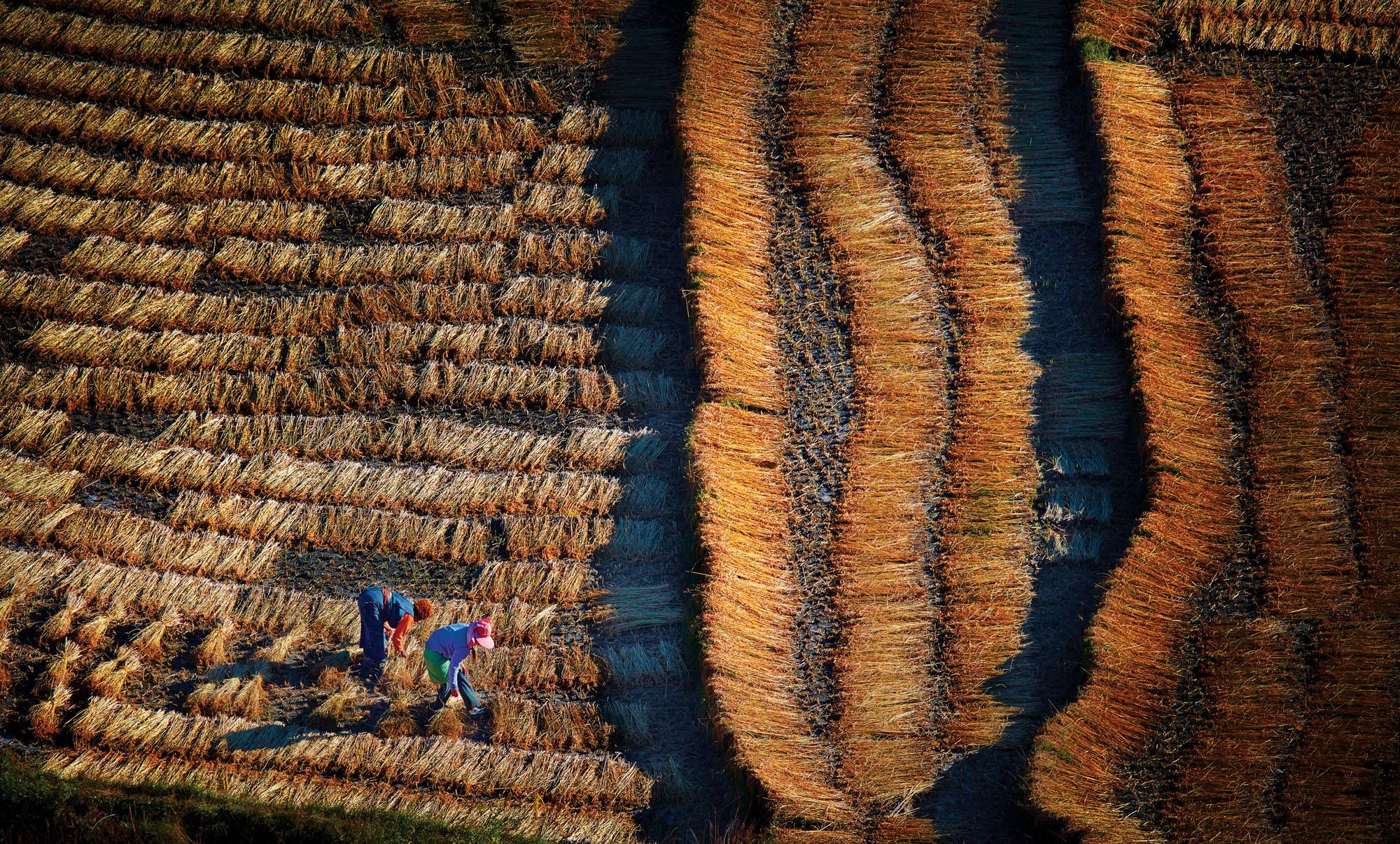 Harvest time, near Paro, Bhutan. Taken on a photo tour. Canon EOS 5DSR, Canon 300mm f2.8 USM, f5.6 @ 1/250 second, ISO 100.