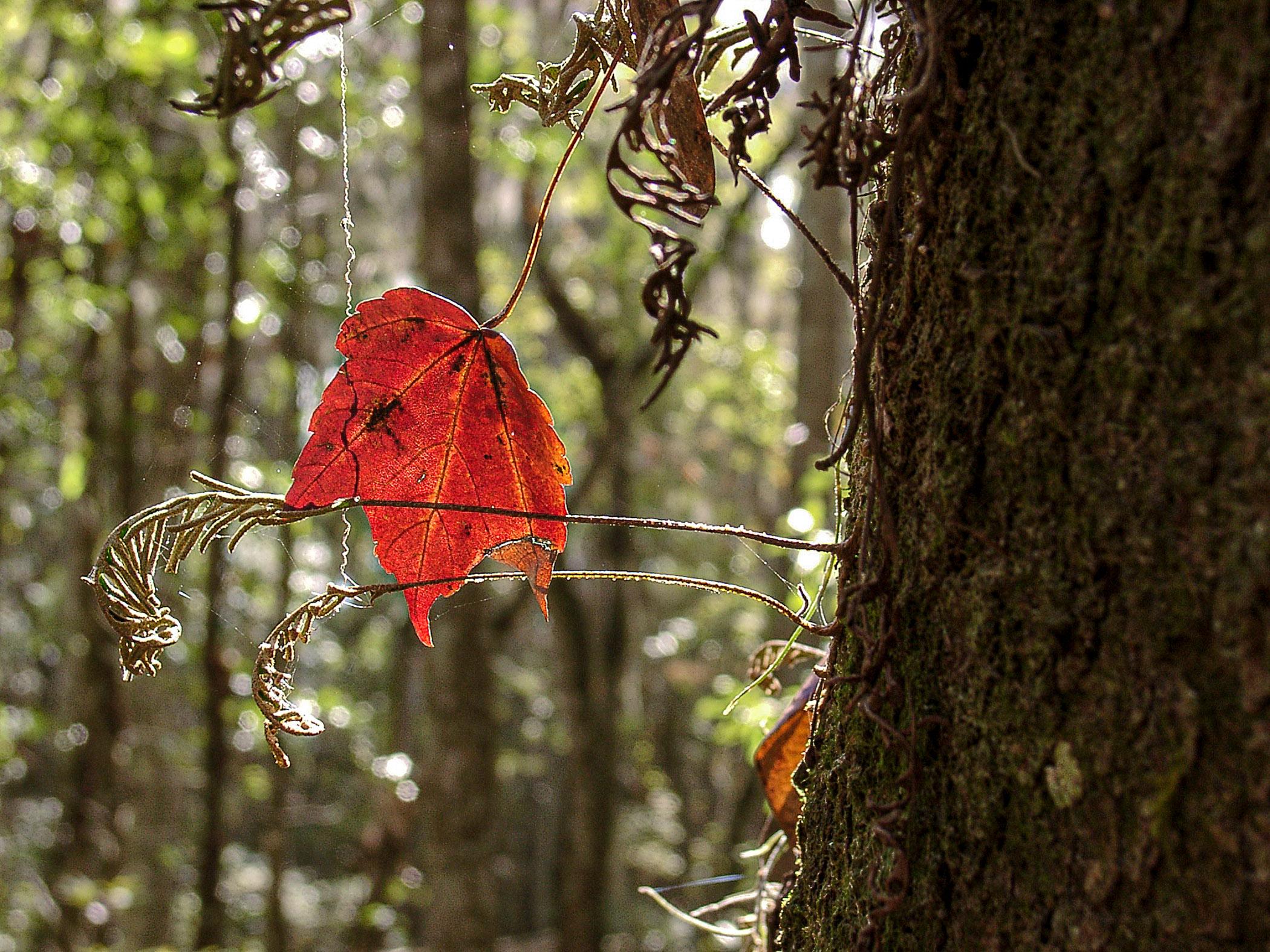 Red-Leaf-in-Backlight