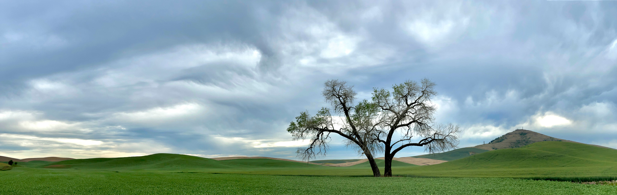 One of the many lone trees with Steptoe Butte in the background