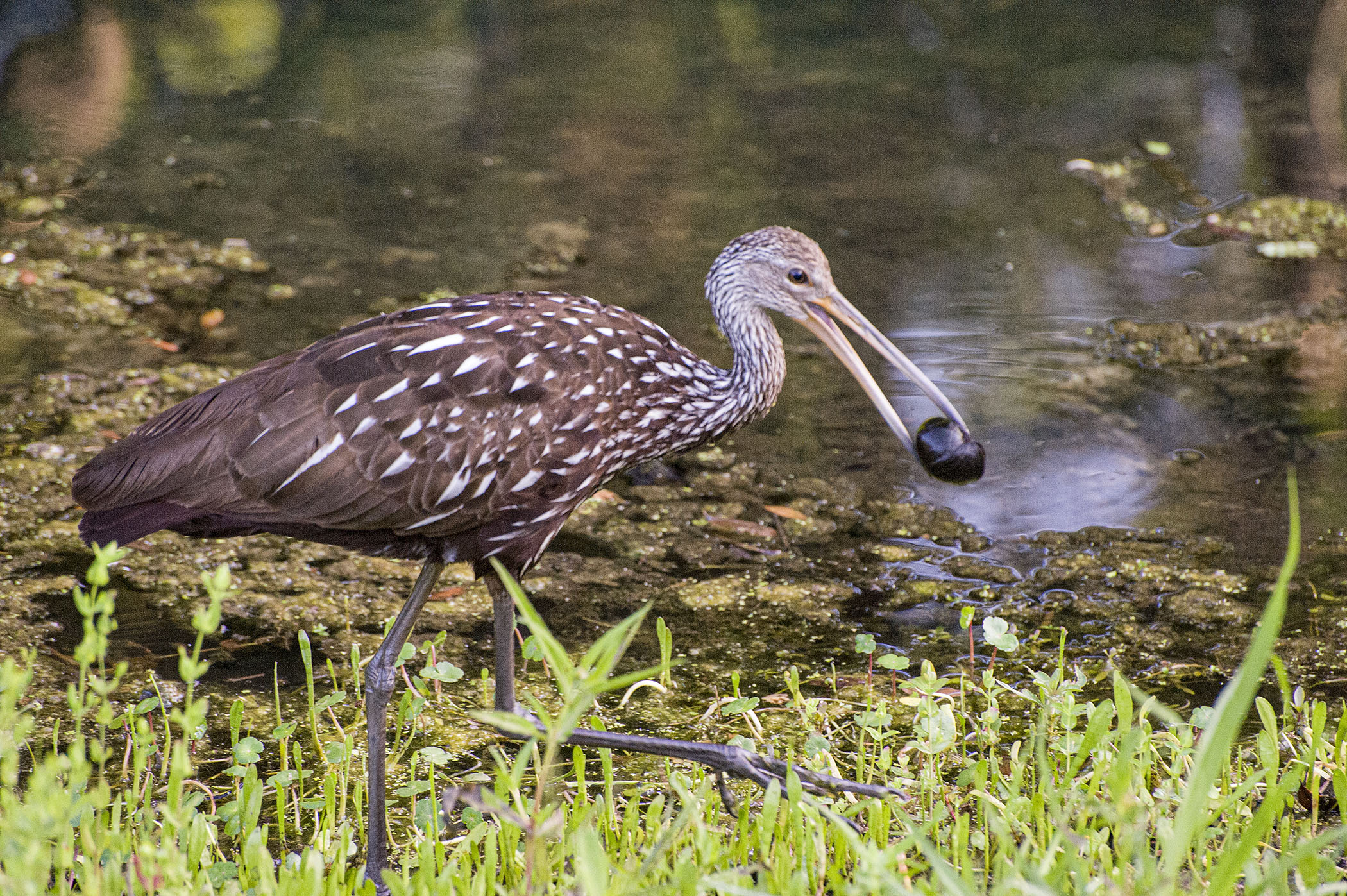 Limpkin-with-Apple-Snail