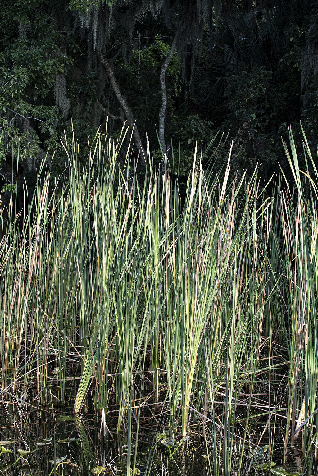 The-Reeds-at-Dawn