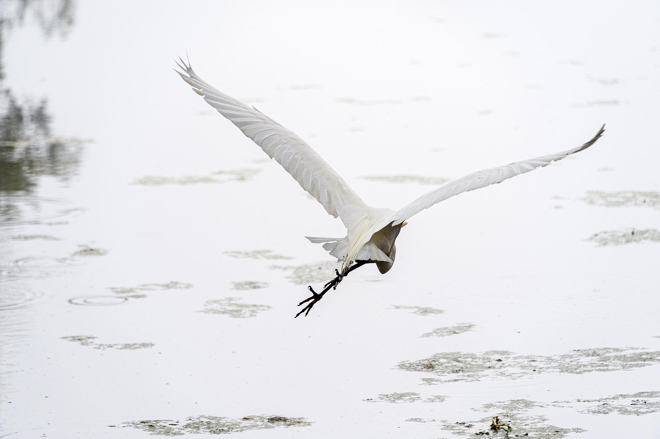 Egret-Going-Away