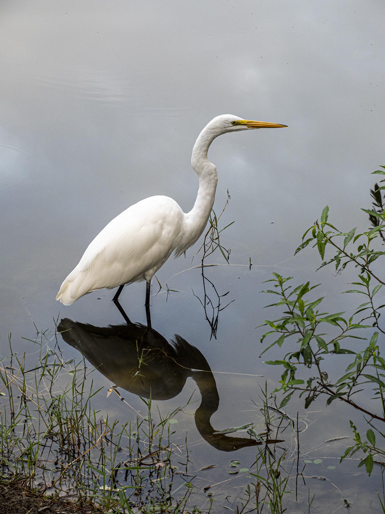 Egret-Reflecting
