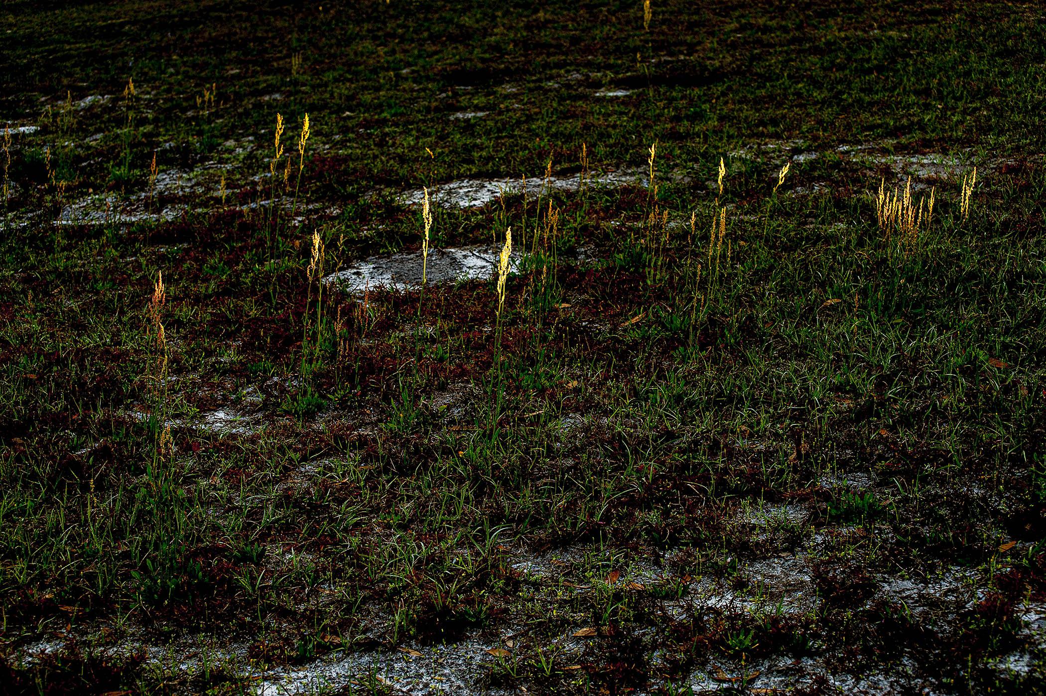 Grass-at-Dawn