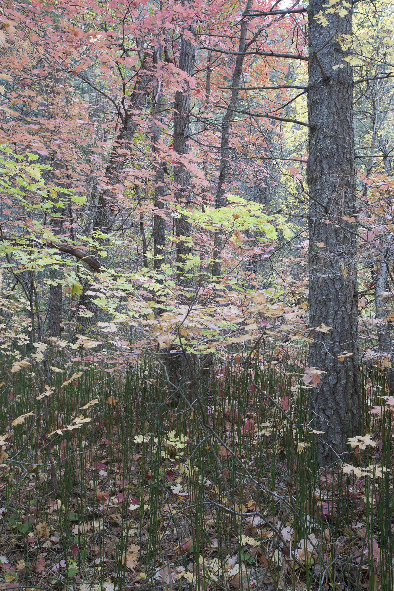 Horsetails & Maples in West Fork, RAW image