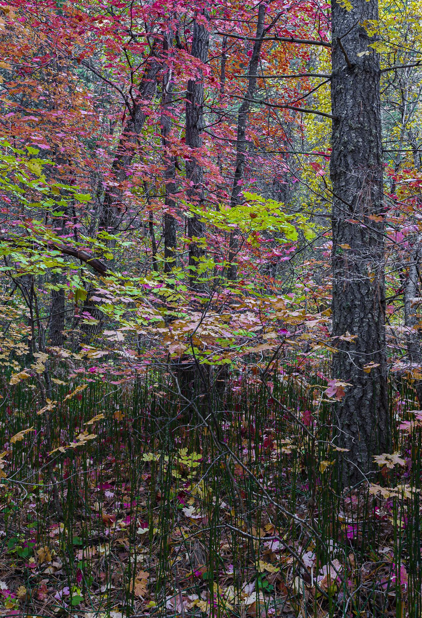 Horsetails & Maples in Westfork, final image