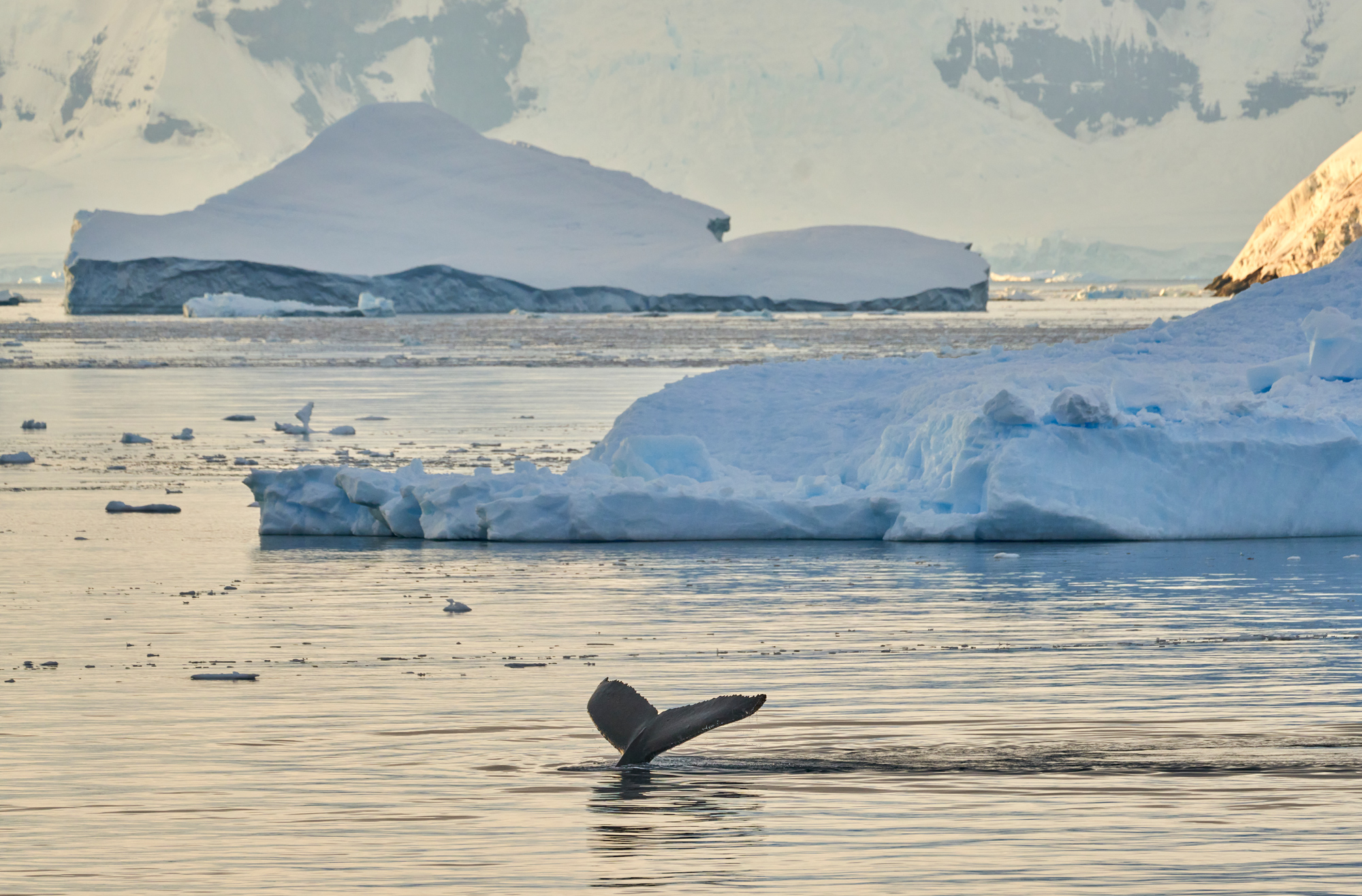 Whale Tail and Icebergs