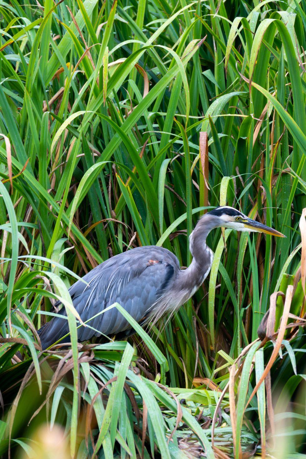 Great Blue Heron, Dawson Creek Ponds, Hillsboro, Oregon