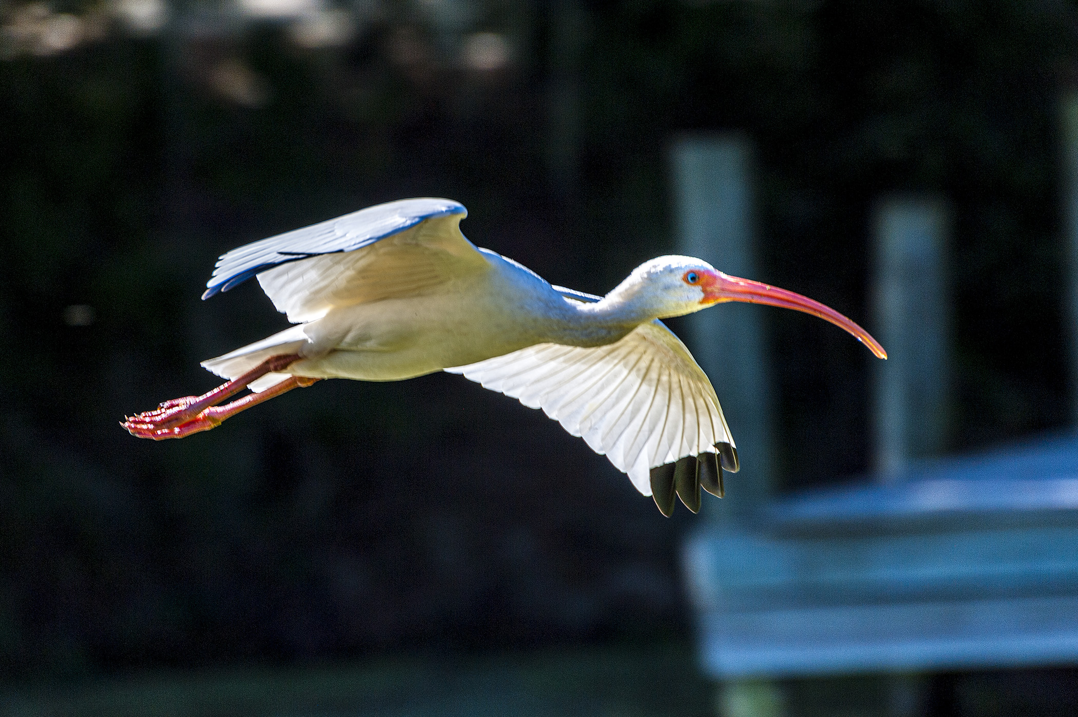 Ibis-Fly-By
