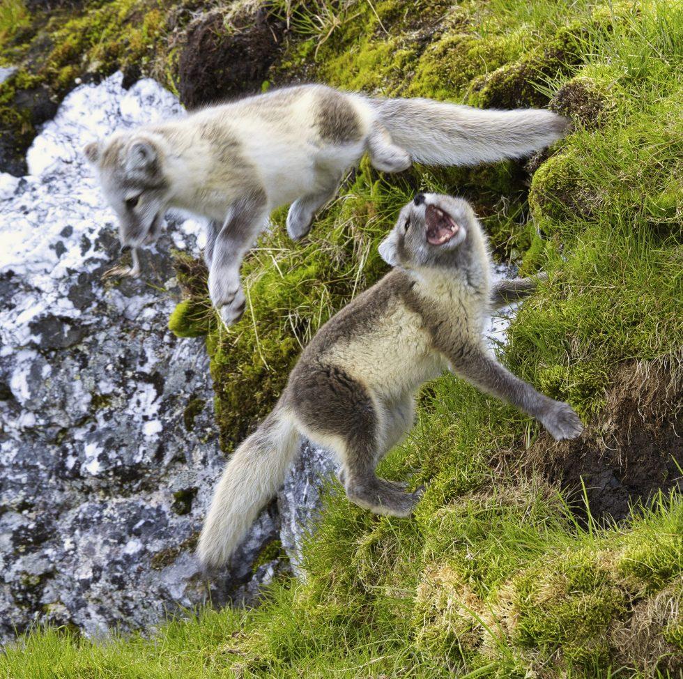 Arctic Fox Playing