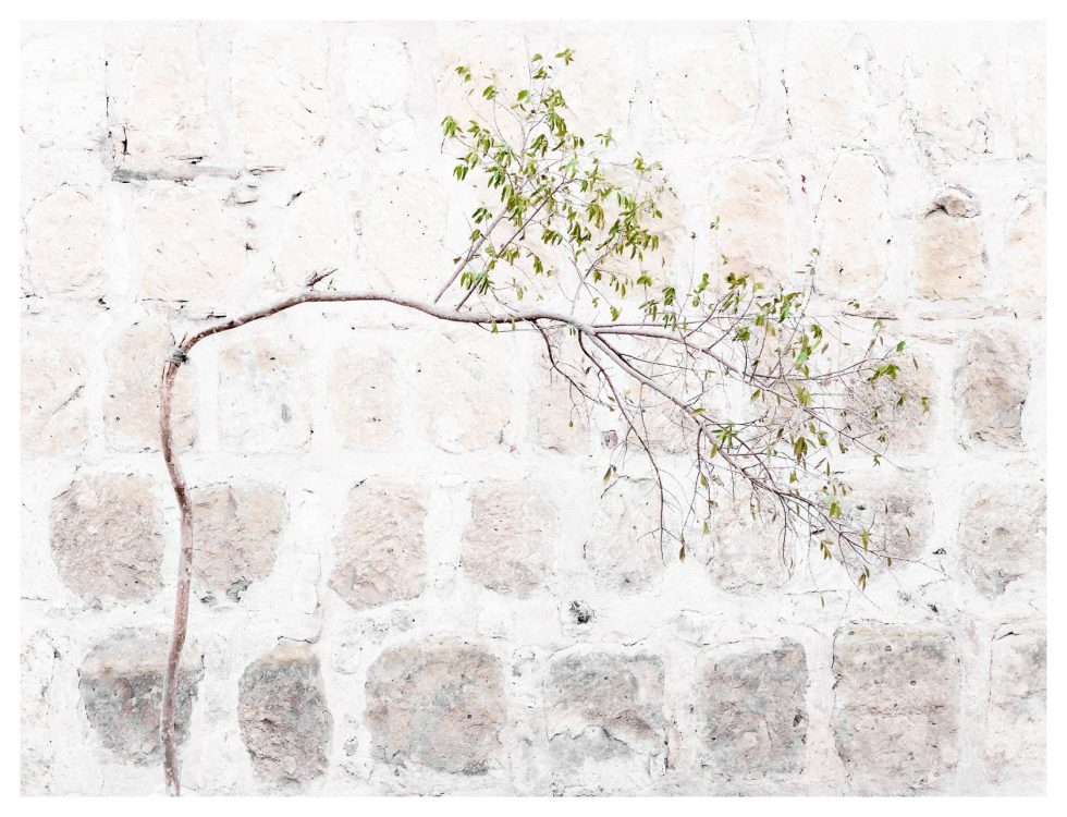 Bent tree, Oaxaca