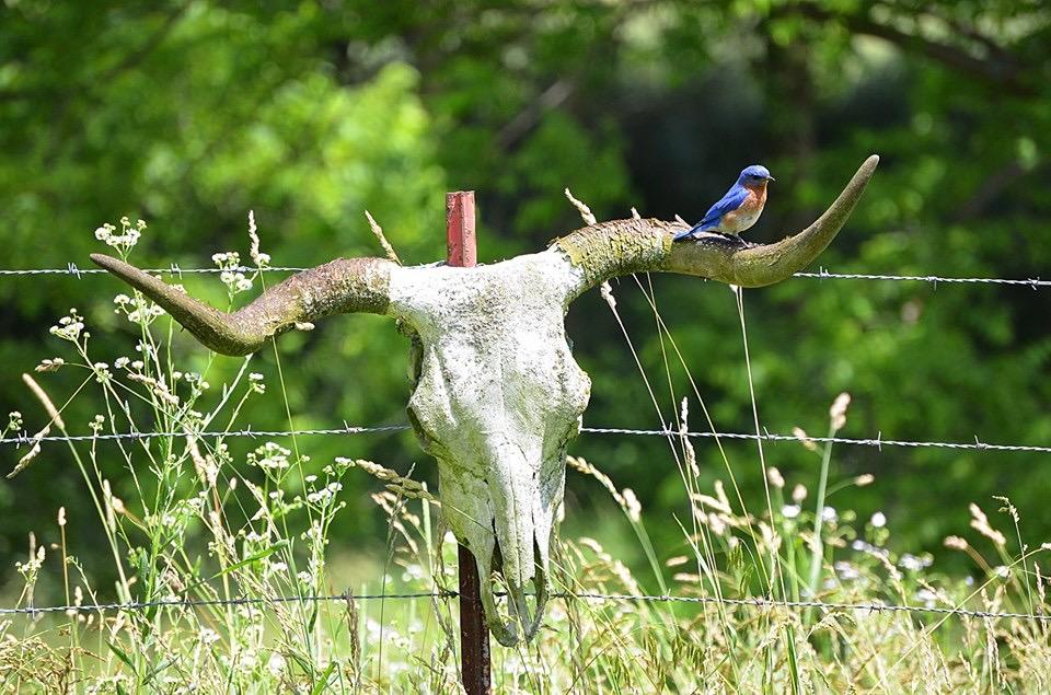 Yeehaw Bluebird