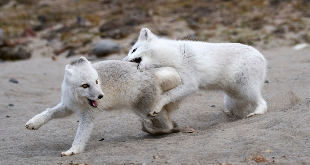 Arctic foxes in Svalbard. Shot with the Sony a9 and 100-400mm G-Master