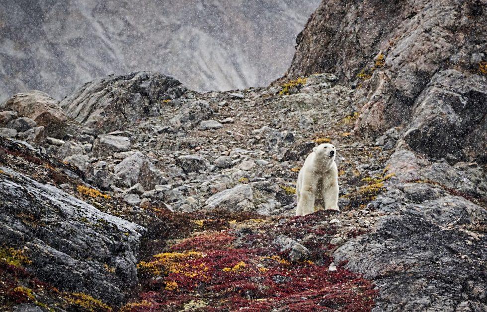 Polar Bear Encounter In Greenland September 2019