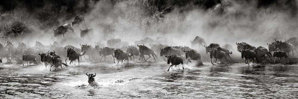 Wildebeest crossing the Mara River in the northern Serengeti.