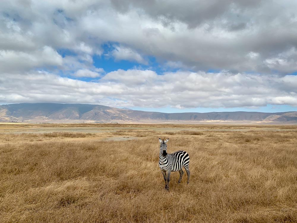 A lone zebra taken with my iPhone one morning in the Ngorongoro Crater.