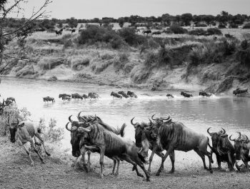 Wildebeests cresting the bank of the Mara River in the foreground while others still brave the crocodiles in the background.