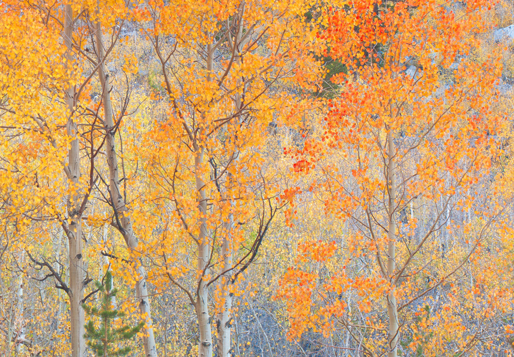 North Creek Aspens in luminescent warm pastel tones, South Creek.